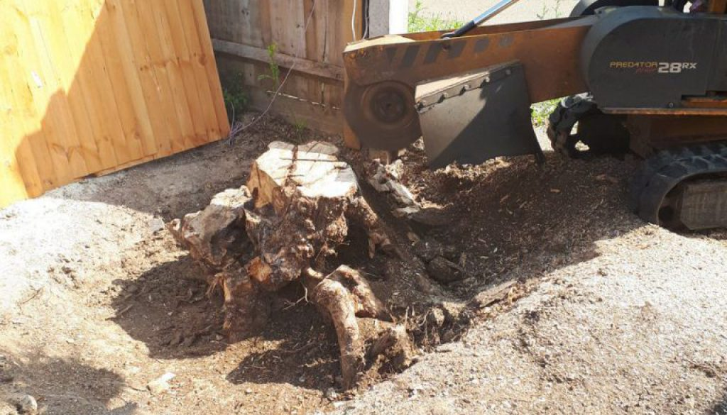 I am grinding a Field Maple tree stump in Braintree, a stump grinder is the easiest way to remove a tree stump! Please g...