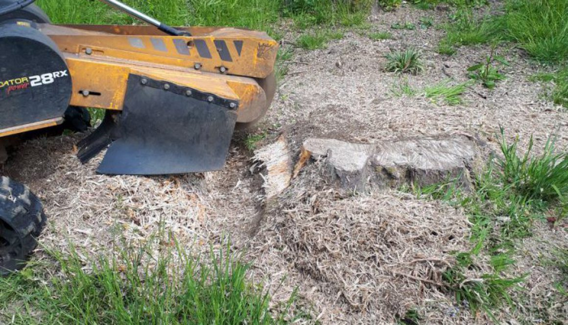 Tree stump grinding a large oak stump near Stock Essex. Grinding a tree stump is the easiest way to remove a tree stump....