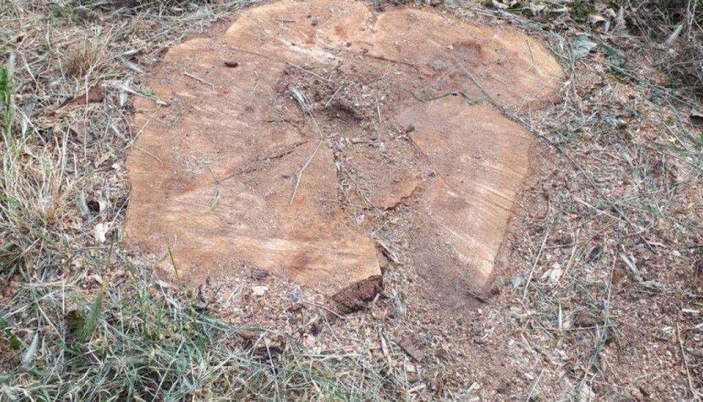 Tree stump grinding a willow stump near Upminster, Essex. The area around the tree stump was raised so I removed the tre...