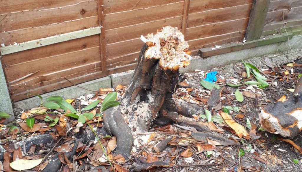 Tree stump grinding in Bushey, Hertfordshire, removing a. Laurel tree stump, blackthorn tree stump and more. Call me any...