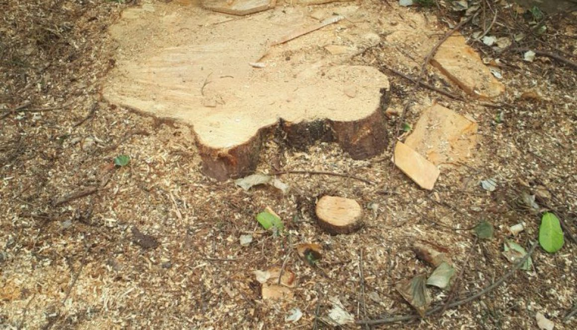 Essex tree stump grinding removing conifer tree stumps in Chigwell, Essex. ...