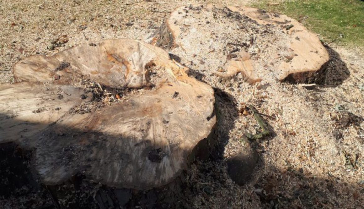 Tree stump grinding a large horse chestnut tree stump near Ingatestone, Chelmsford, Essex. ...