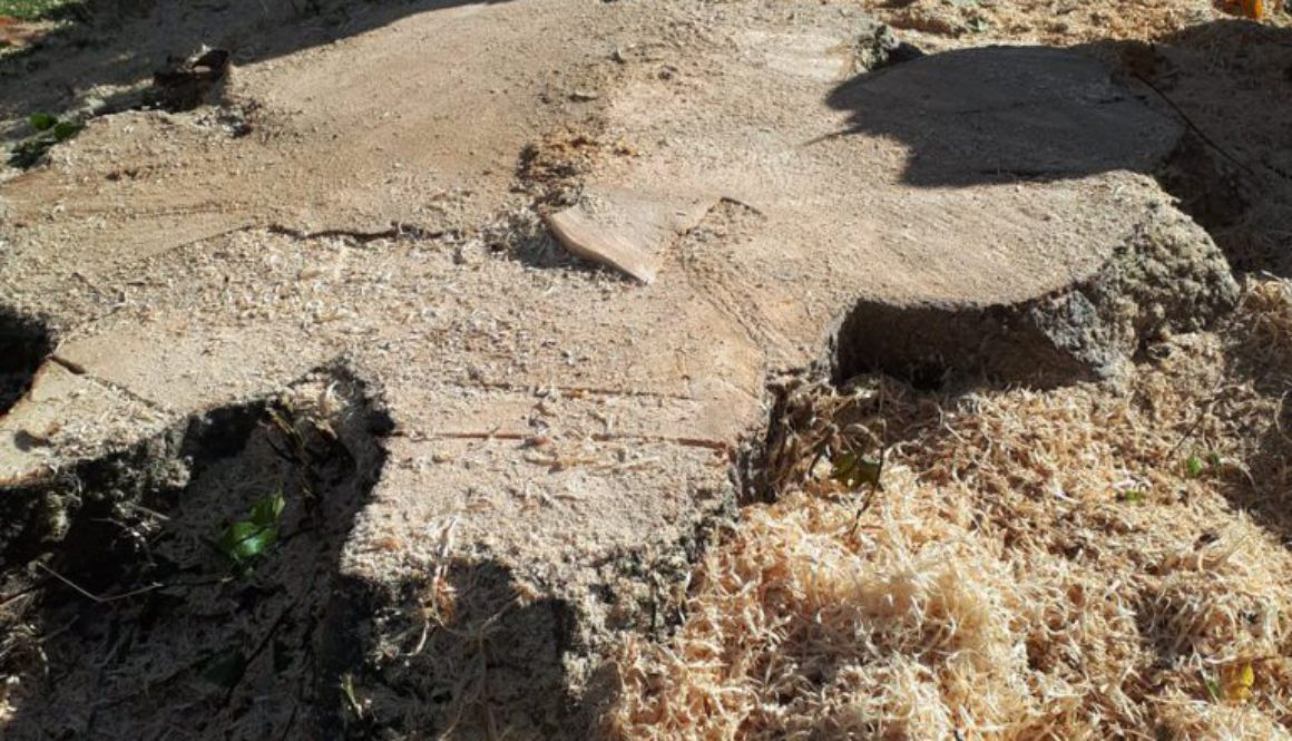 More photographs from Essex Tree Stump Grinding from Ingatestone, near Chelmsford, Essex. ...