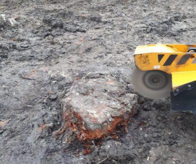 Removing a horse chestnut tree stump in preparation for turfing near, Much Hadham, Bishop's Stortford. ...