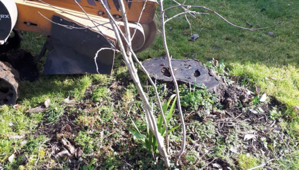 Essex tree stump grinding removing a cherry tree stump in Thaxted, Dunmow, Essex. You can see the before and after pictu...