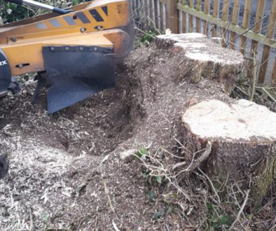 Essex tree stump grinding removing a large field maple tree stump with multiple trunks at Willows Green, Great Leighs, E...
