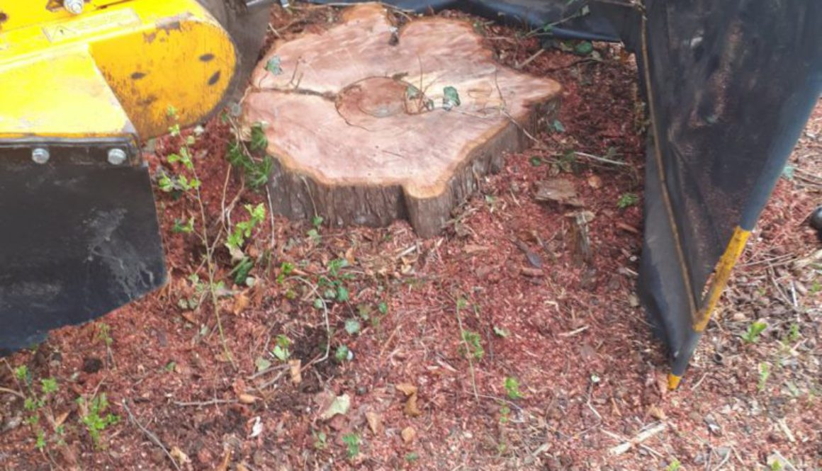 Stump grinding a yew tree stump at Stansted, Essex. This Yew tree stump is being removed in preparation for a larger dri...