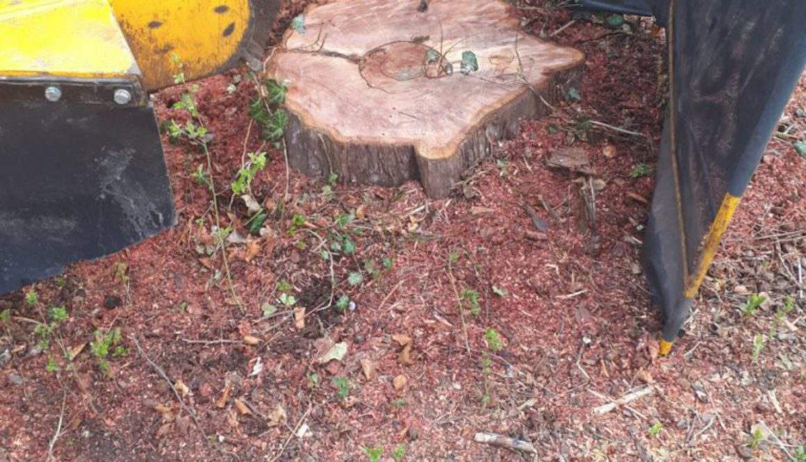 Tree stump grinding in Stansted, Essex. This particular tree stump is a horse chestnut tree. ...
