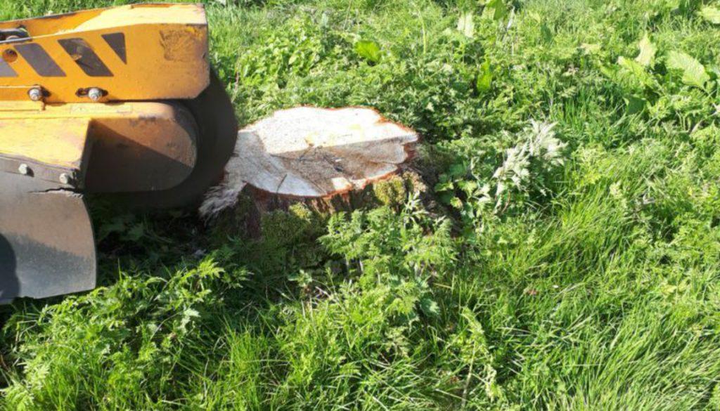 Tree stump grinding poplar tree stumps near Elmstead Market, Colchester, Essex. Essex tree stump grinding is here to hel...