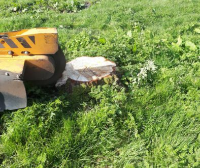 Tree stump grinding poplar tree stumps near Elmstead Market, Colchester, Essex. Essex tree stump grinding is here to hel...
