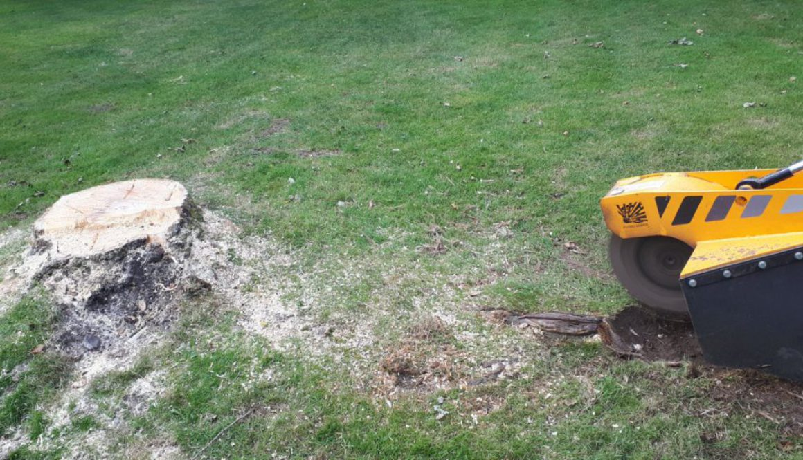Essex tree stump grinding a poplar tree stump at Wethersfield, near Castle Hedingham, Essex. Although poplar trees are n...