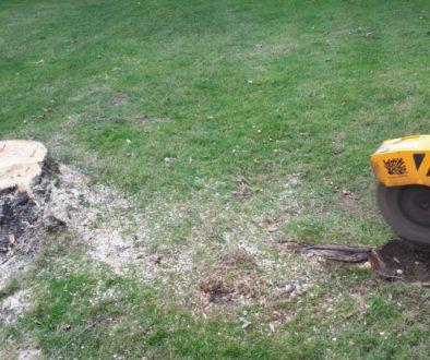 Essex tree stump grinding a poplar tree stump at Wethersfield, near Castle Hedingham, Essex. Although poplar trees are n...