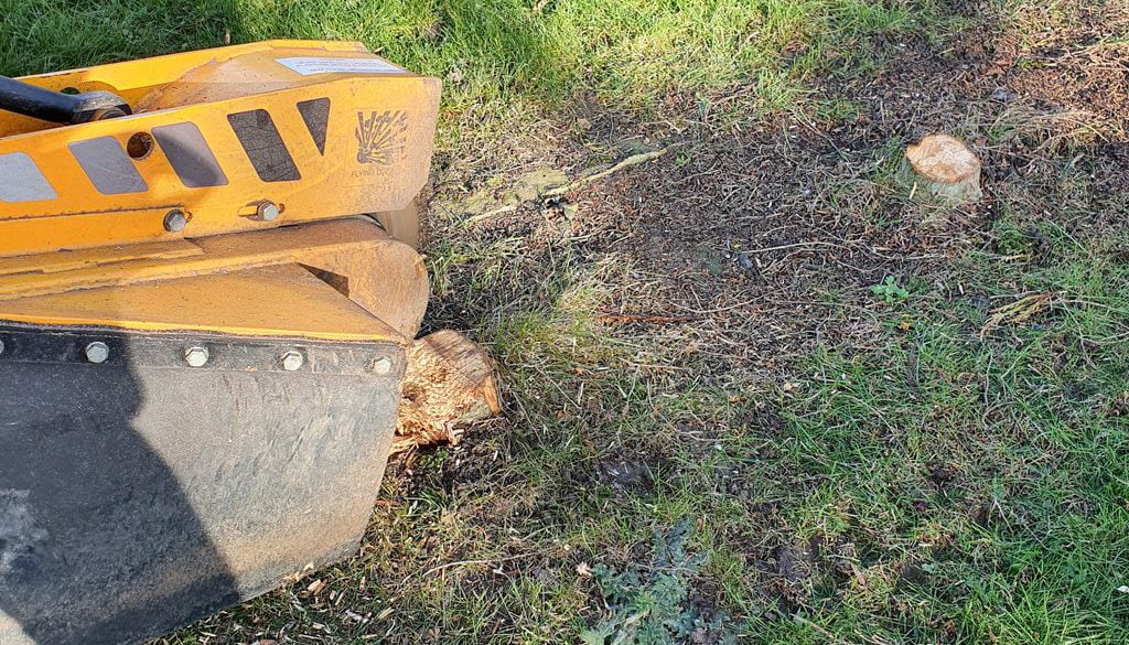 Removing a large yew stump and several conifer stumps at Gosfield, Halstead, Essex. ...