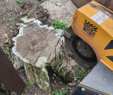 Removing a conifer tree stump in Springfield, near Chelmsford, Essex. The tree stump was removed to make way for a new p…