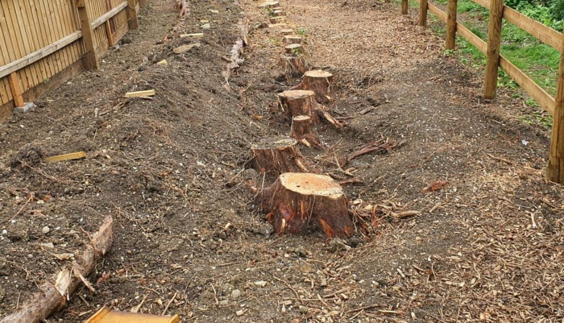 Tree stump in High Roding, near Great Dunmow, Essex. The photograph shows 25 conifers tree stumps varying from 12 inches…