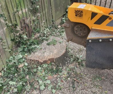 Tree stump grinding in Melbourne, Chelmsford, Essex. Four oak tree stumps were removed that were literally pushing up ag…