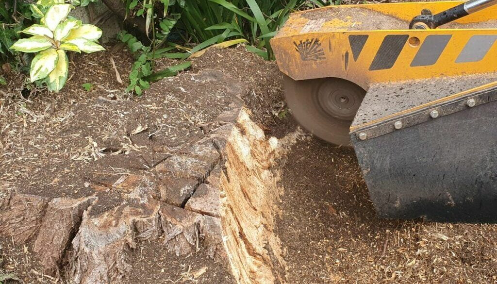 Tree stump grinding near Milton, Cambridge today. A large acacia tree stump was removed in preparation for a new larger …