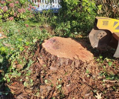 Tree stump grinding at Chigwell, near Epping, Essex. A large yew tree stump, apple tree stump and various other stumps w...
