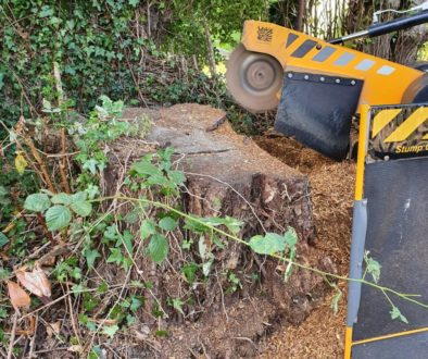 Tree stump grinding in Cornish Hall End, Finchingfield, Essex. There were a number of sycamore tree stumps to be removed...