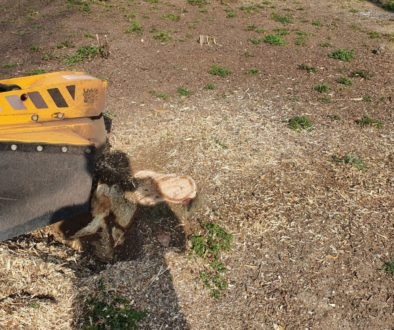 Tree stump grinding at Battisford, near Stowmarket, Suffolk. Here there are multiple tree stumps of all shapes and sizes...