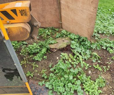 Tree stump grinding in Clare, Suffolk. Six largish conifer stumps were removed to make way for a new beech hedge. The co...