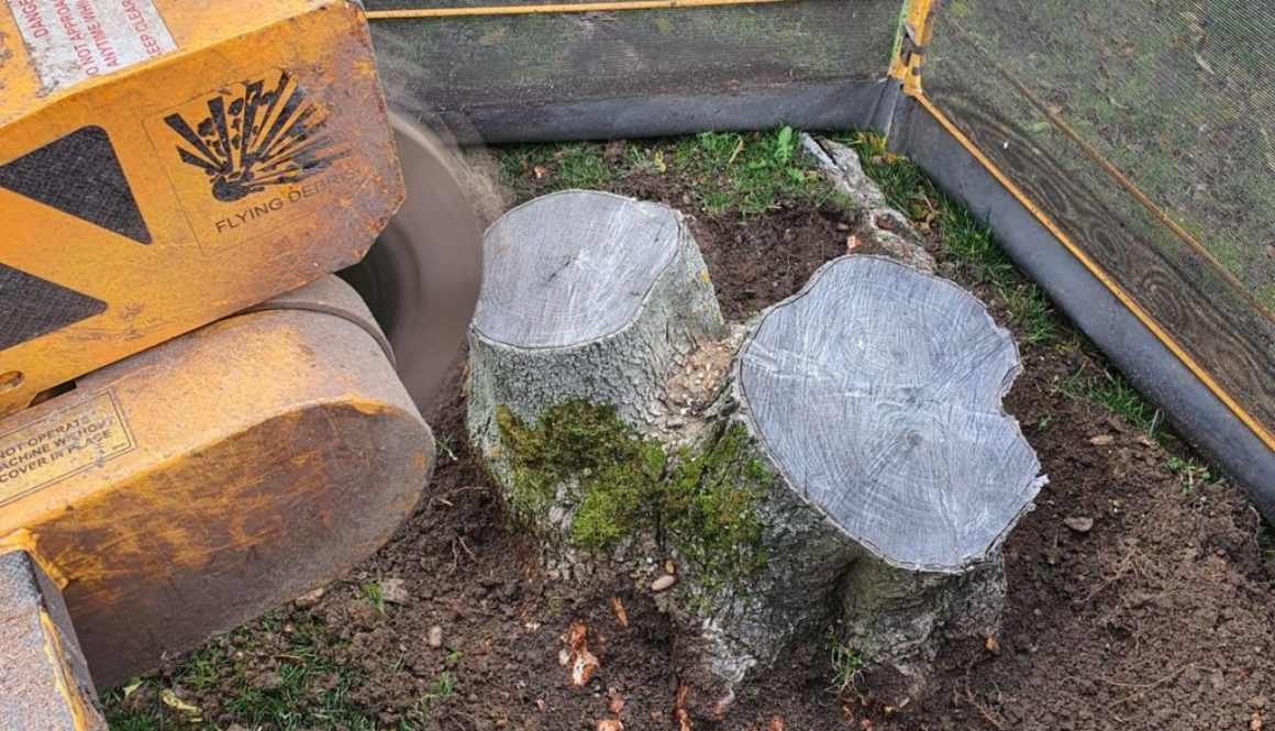 Tree stump grinding in Whepstead, near Bury St Edmunds, Suffolk. Removing a variety of tree stumps in a lawn, despite th...