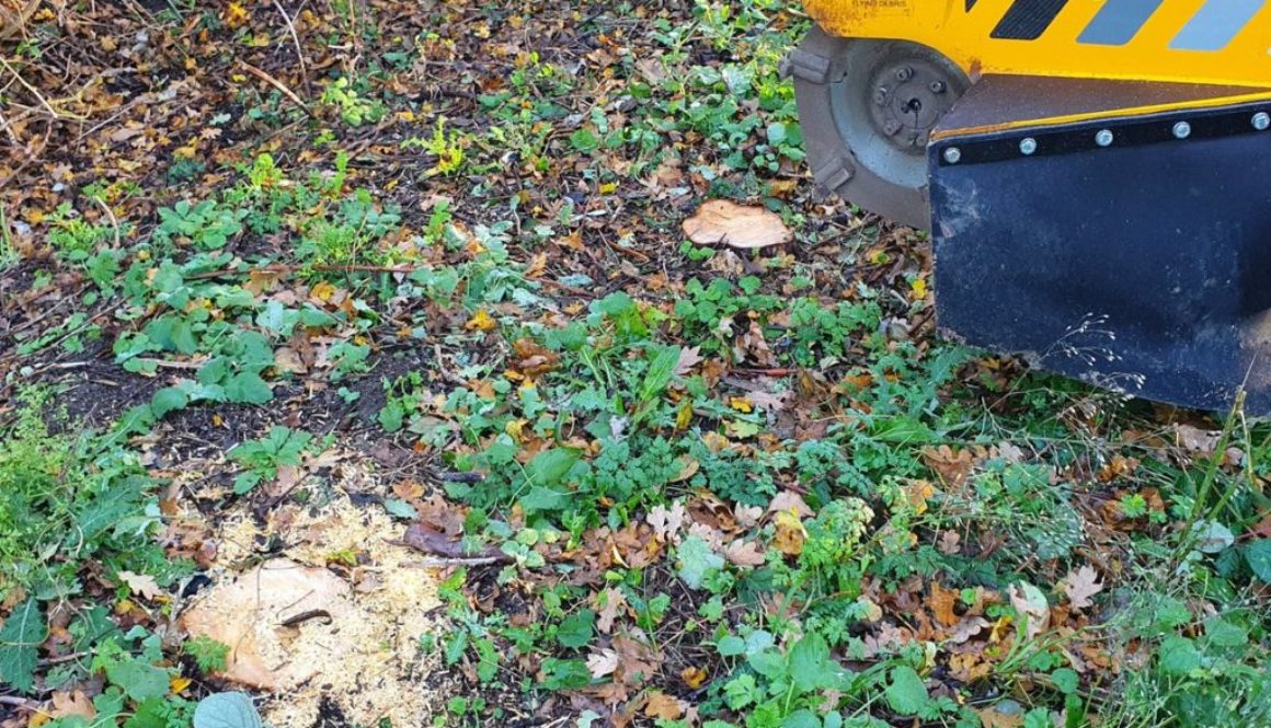 Tree stump grinding at Sewards End, near Saffron Walden, Essex. Removing a row of conifers in preparation to replant a n...