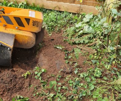 Tree stump grinding in Rivenhall, near Witham, Essex. Removing eight approximately 12-inch tree stumps that are being re...