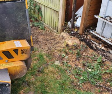 Tree stump grinding in Steeple Bumpstead, near Haverhill, Suffolk. Grinding a Mountain Ash (Rowan) tree, the tree had be...