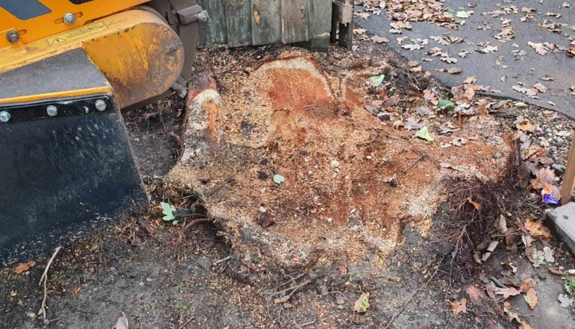 Tree stump grinding near Ongar, Essex. This tree stump had been partially ground out by a tree surgeon with a small grin...