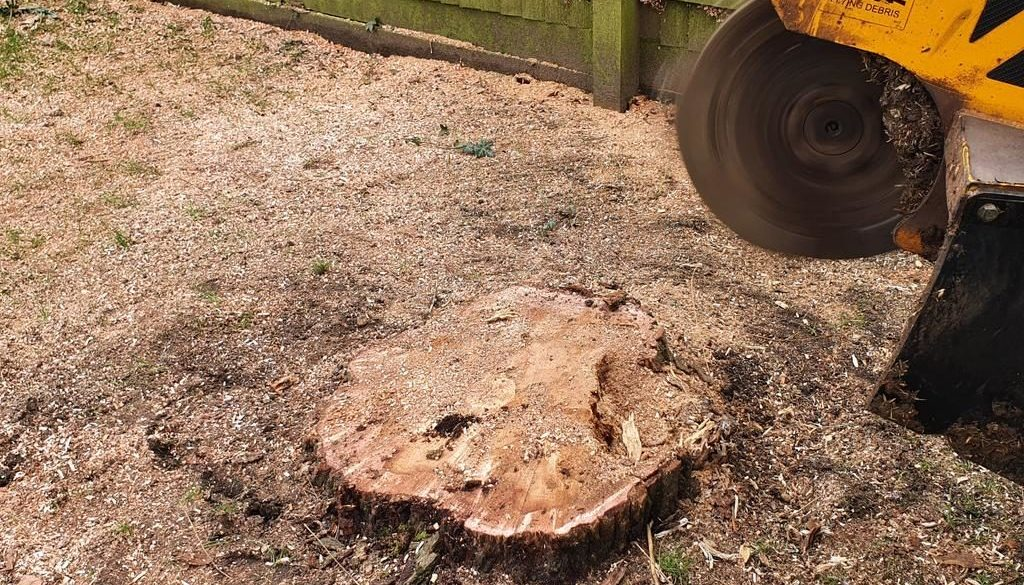 Tree stump grinding at Bardfield Saling, near Stebbing, Dunmow, Essex. There were a mixture of tree stumps, ranging from...