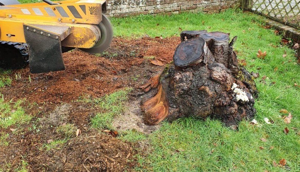 Tree stump grinding in Great Warley, near Brentwood, Essex. This was a large cherry tree stump, the various roots in the...