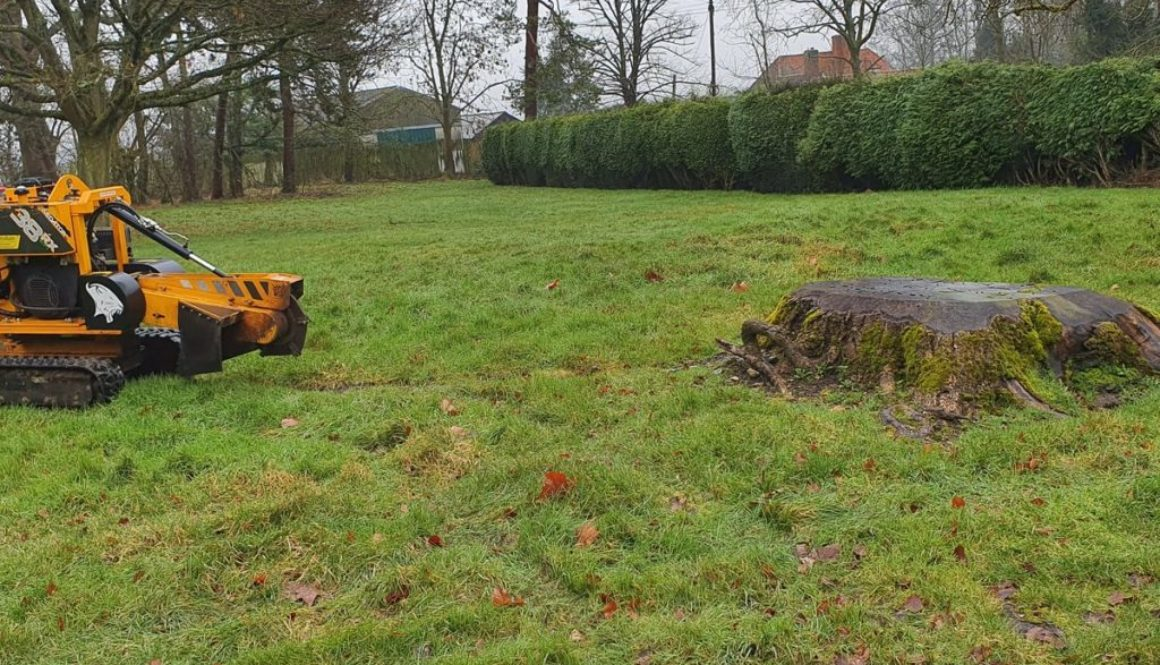 Tree stump grinding in Westmill, near Buntingford, Hertfordshire. Here the picture shows a large walnut tree stump about...