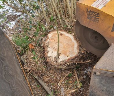 Tree stump grinding various tree stumps near Hutton, Brentwood, Essex. The tree stumps were removed in readiness for a d...