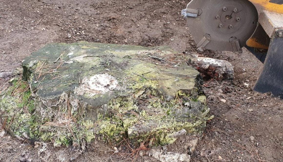Tree stump grinding at Black Notley, near Braintree, Essex. The tree stump was a large Cedar tree stump approx 4 foot in...