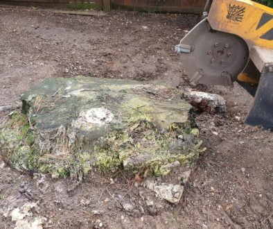 Tree stump grinding at Black Notley, near Braintree, Essex. The tree stump was a large Cedar tree stump approx 4 foot in...
