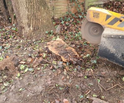 Tree stump grinding at Burrough Green, near Newmarket, Suffolk. Removing a mixture of tree stump's which needed to be re...