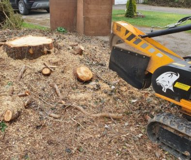 Tree stump grinding at Felsted, near Dunmow, Essex. This was a large, stump measuring about 4 feet across with various r...