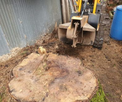 Tree stump grinding at Great Bradley, near Newmarket, Suffolk. This was a particularly large ash tree stump that had rat...