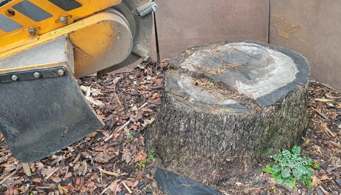 Tree stump grinding at Heybridge, near Maldon, Essex. This was quite a large cedar stump that needed removing in prepara...