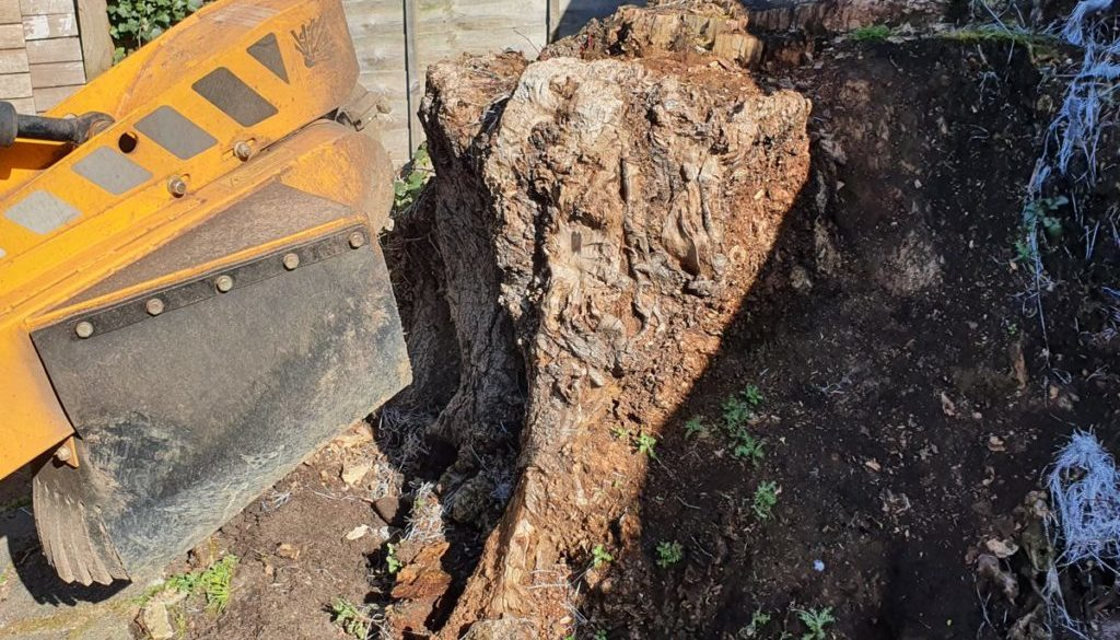 Grinding out two rotten tree stumps in Bocking, near Braintree, Essex. One of the tree stumps was fairly high and old, f...