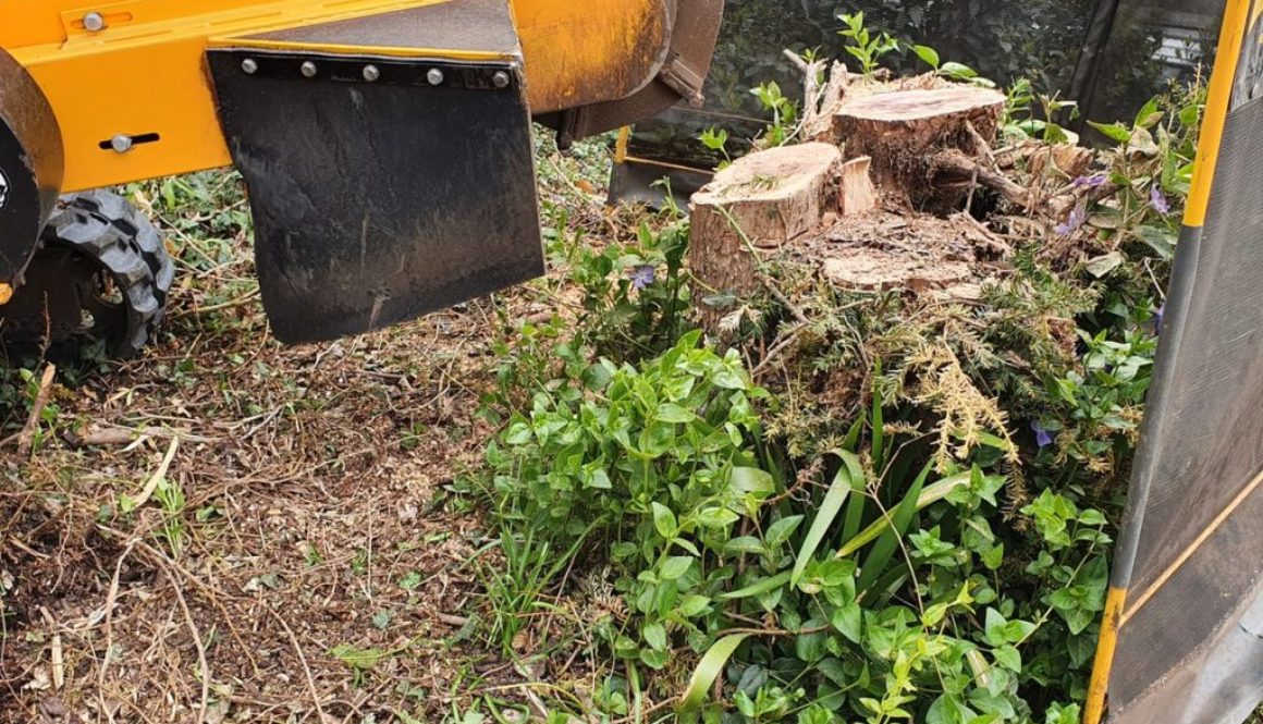 Tree stump grinding at Bocking, near Braintree Essex. Here we are grinding a large Yew tree stump in preparation for a d...