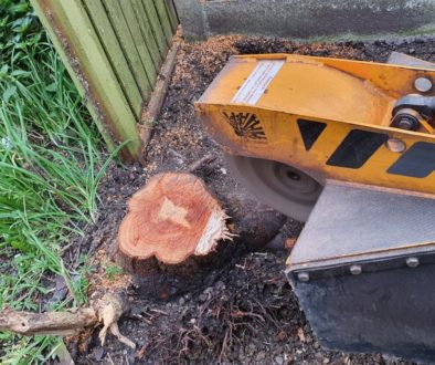 Tree stump grinding in Chelmsford, Essex. This prunus had grown on the fence boundary, time for the tree stump to be rem...