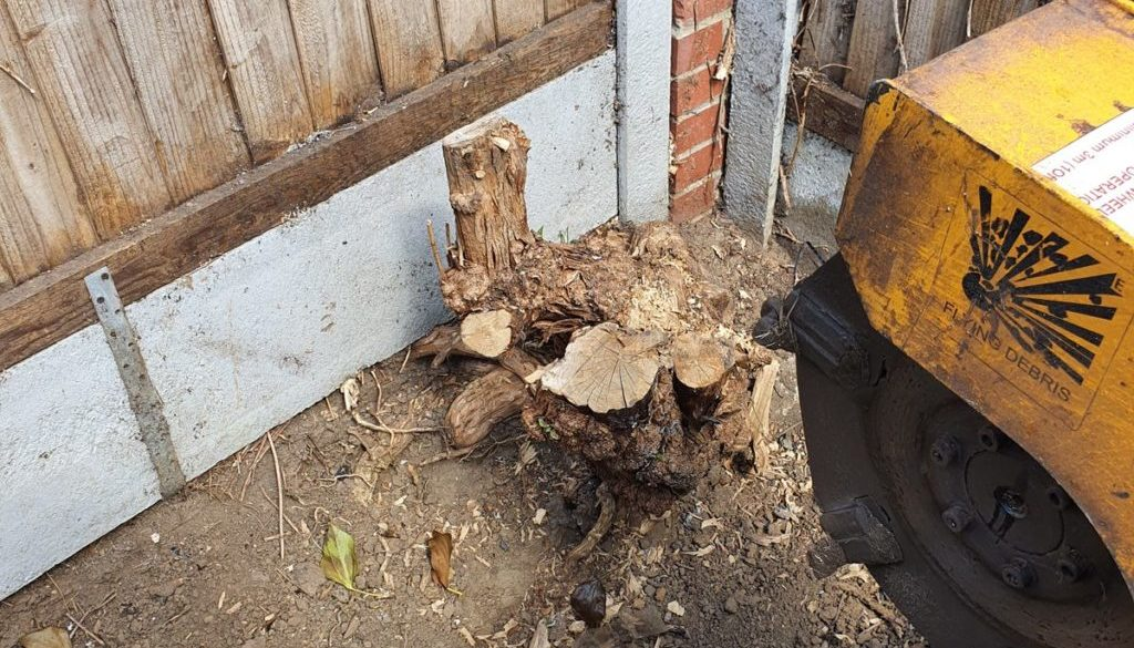 Tree stump grinding a Buddleia tree stump at Chelmer village, near Chelmsford, Essex. The Buddleia tree stump was remove...