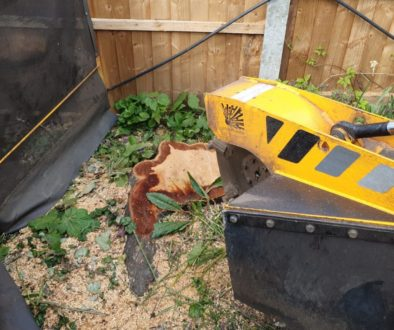 Tree stump grinding a cherry tree stump at Billericay, near Chelmsford, Essex. The cherry tree was becoming too large fo...