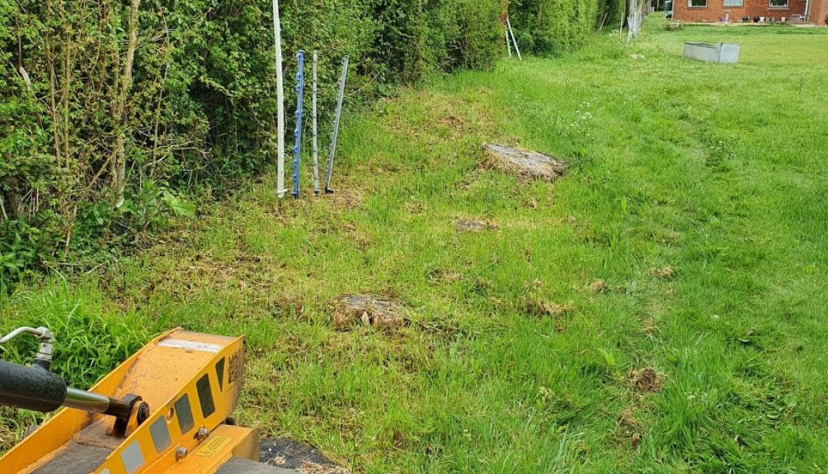 Tree stump grinding at Helion's Bumpstead, near Haverhill, Suffolk. The photograph shows a row of quite large conifers t...