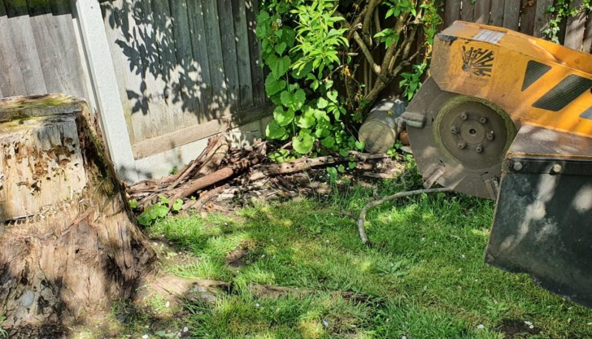 Tree stump grinding in Braintree, Essex. In this photograph the eucalyptus stump was a couple of feet high, although sli...
