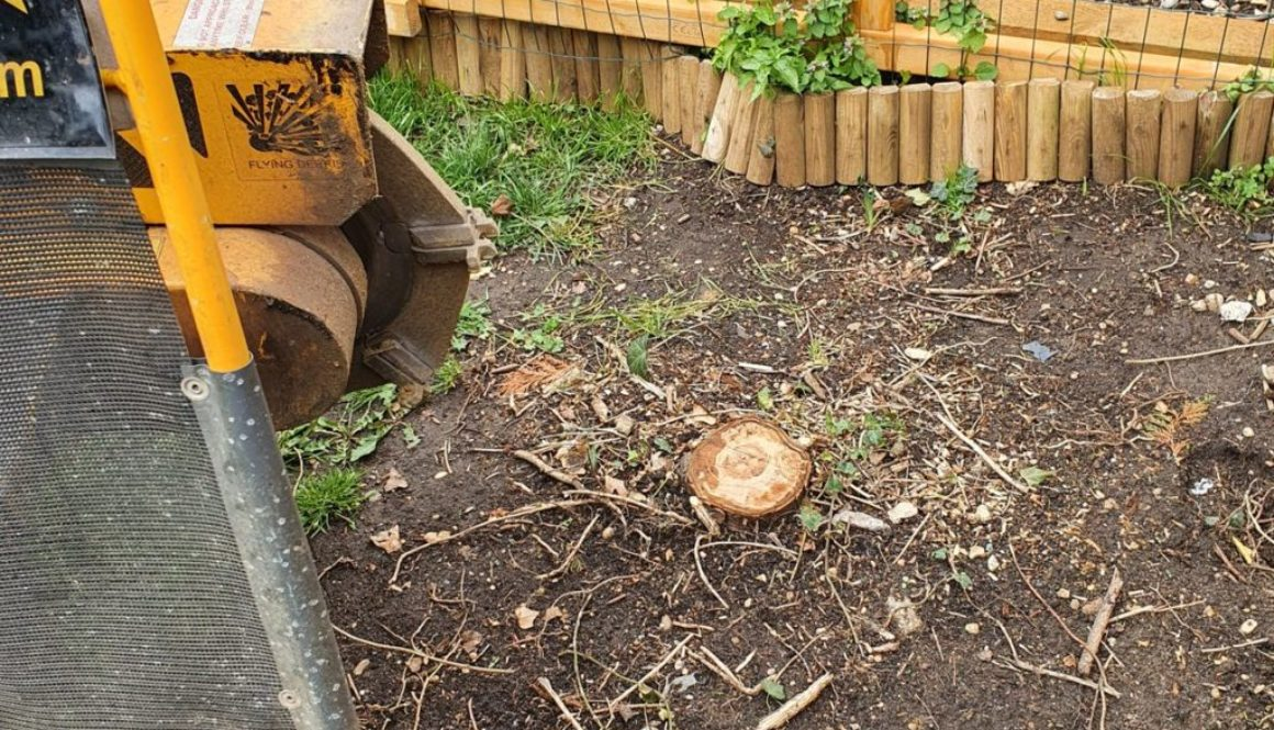Tree stump grinding in Panfield, Braintree, Essex. In the photograph a row of conifer tree stumps were removed, the gard...