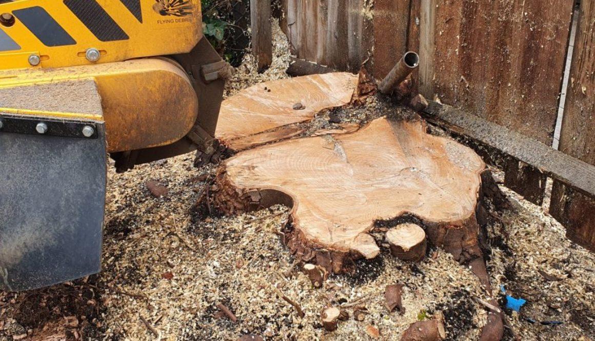 Tree stump grinding a sycamore tree stump, near Lavenham, Sudbury, Suffolk. Another tree stump with a scaffold pole thro...