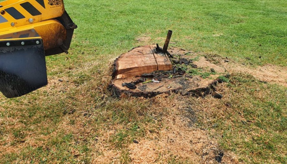 Tree stump grinding at East Hanningfield, near Chelmsford, Essex. This large willow stump had a scaffold pole in the cen...